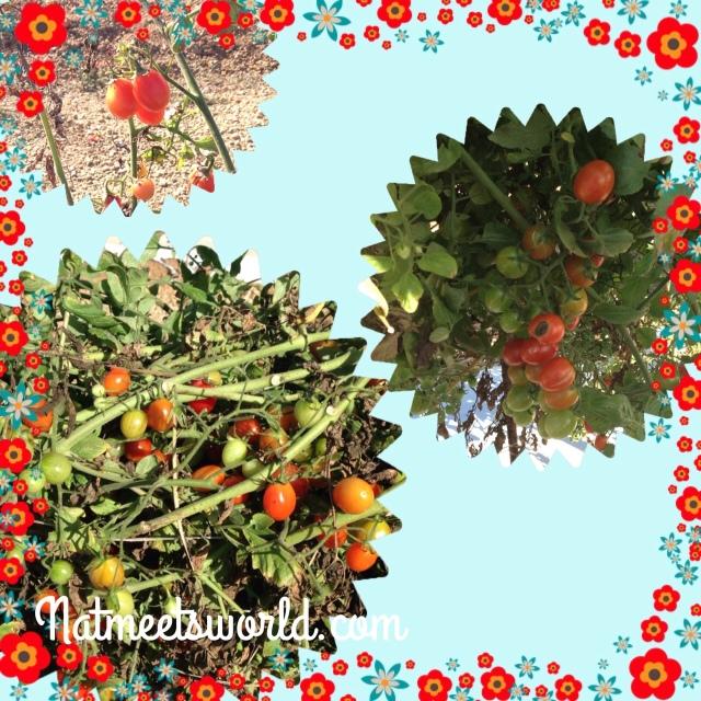knausberryfarmcherrytomatovines