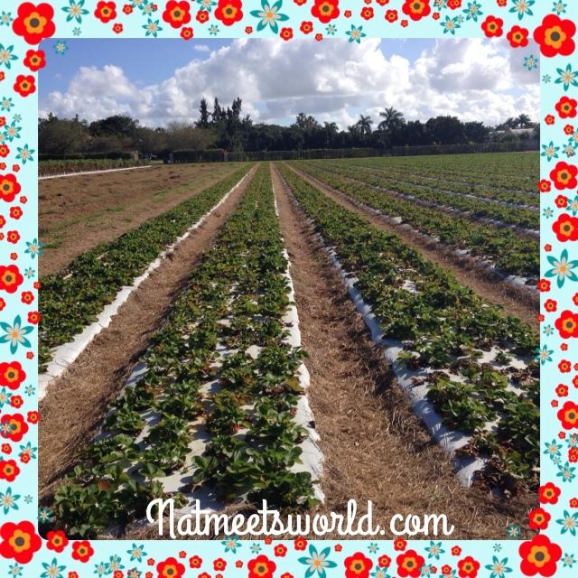knausberryfarmstrawberryfield