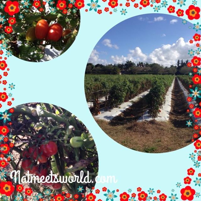 knausberryfarmtomatos